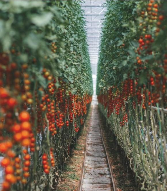 Крипто-ферма на специальной «агротектуре» для майнинга помидоров